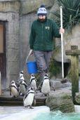 Humboldt Penguins at feeding time